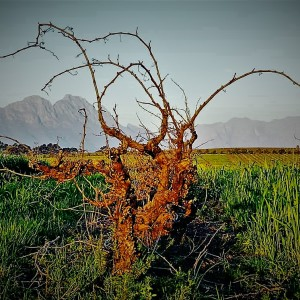 Pinotage Stellenrust Chenin in the Hills (2)